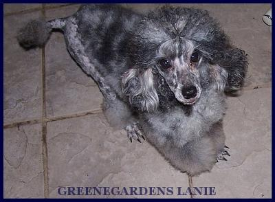 GreeneGardens Lanie, a blue merle miniature poodle
